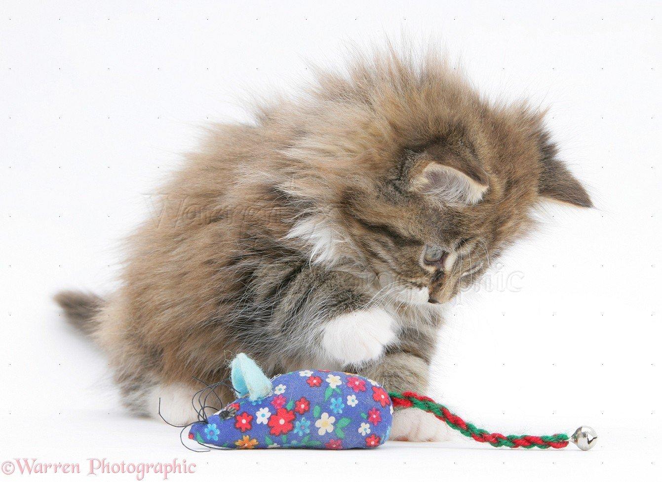 Maine Coon Kitten, 8 settimane, giocando con un topo giocattolo Thebiem-7124
