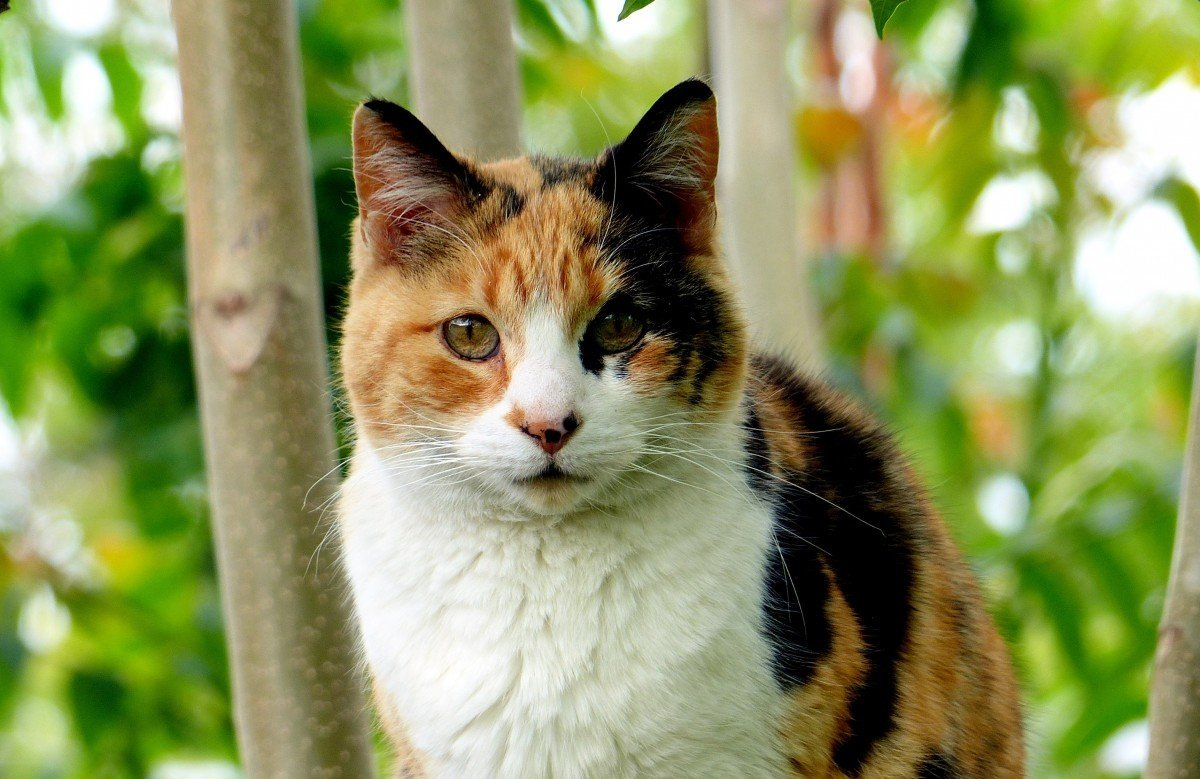 Calico cat facts