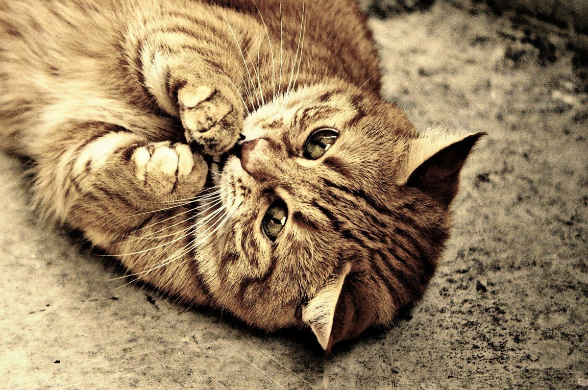 Tabby Cat Facts